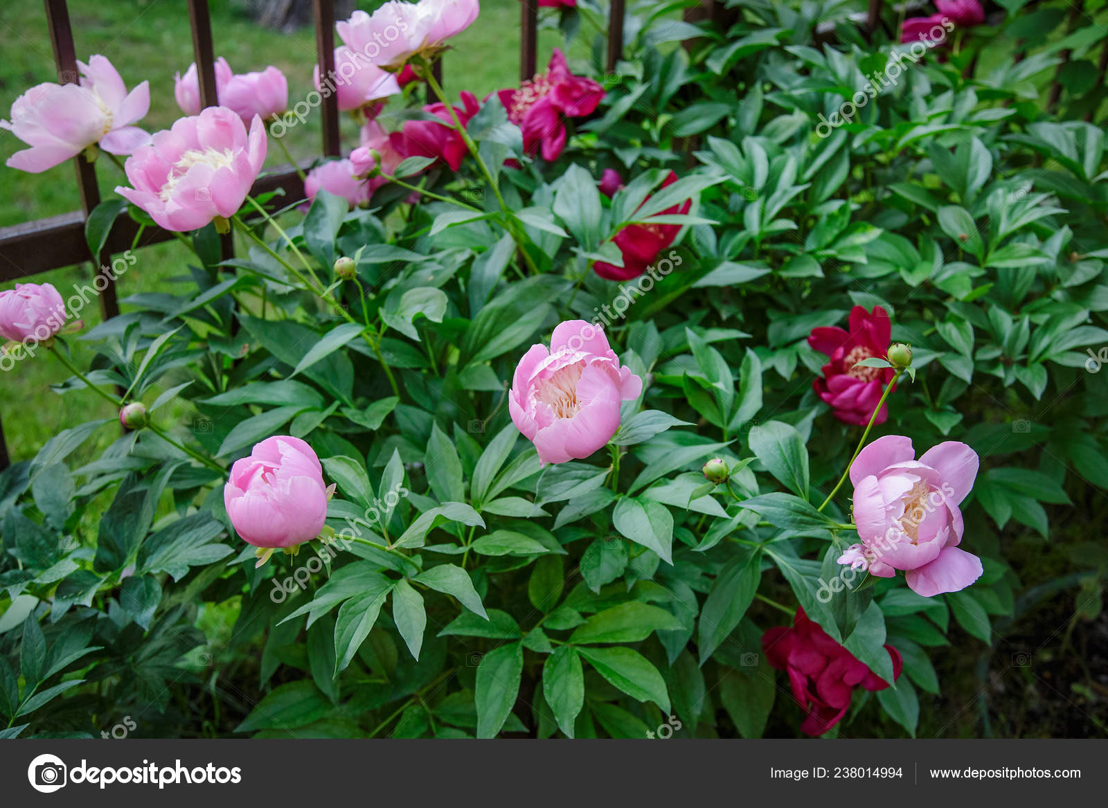 Shrubs Beautiful Peonies Garden Growing Flowers Sunny Day Garden