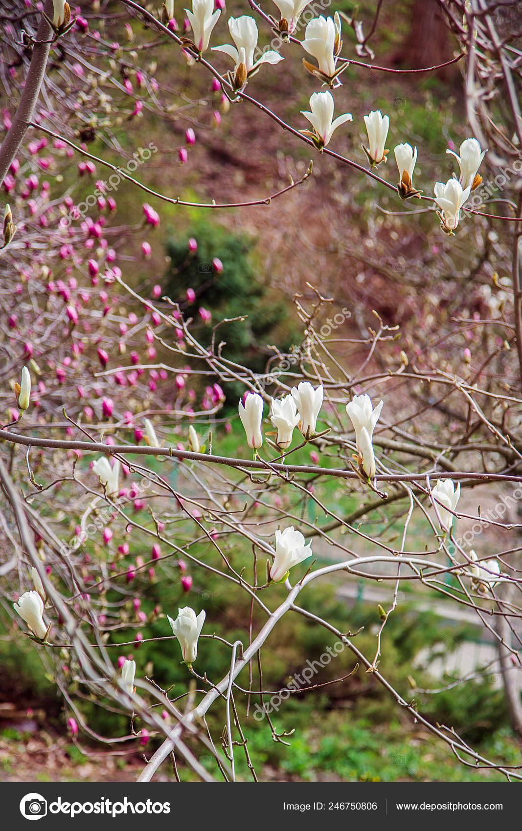 Large Pink White Magnolia Trees Bloom Park Spring Day Floral Stock Photo C Liubovyashkir 246750806