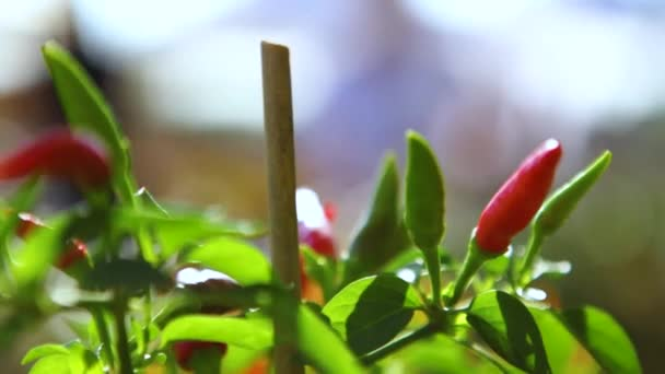 Close up on chilli and sweet pepper plants at the farmers market on a sunny and windy day (Package of 3 scenes)