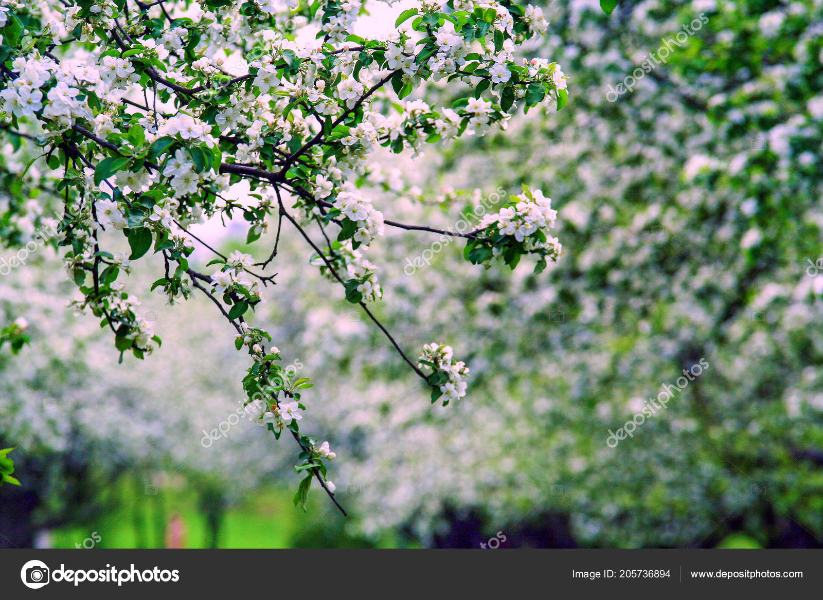 Apple Garden Moscow Blooming White Flowers Tree Stock Photo