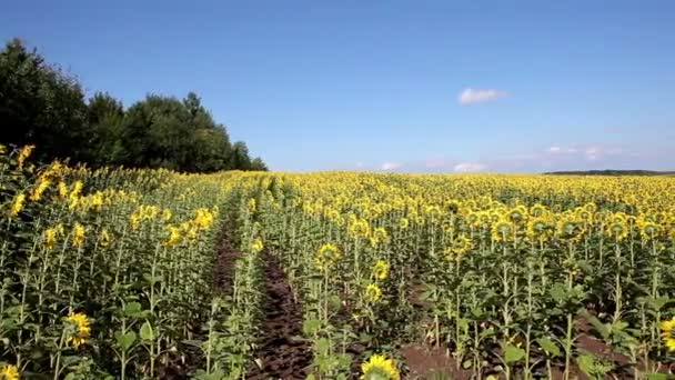 Sunflowers. A large field of high sunflowers against the blue sky.The sun flower is warmed by warm rays and is filled with health.A huge field of sunflowers against the blue sky.
