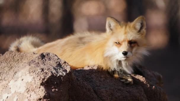 Portrait of Fox, Slow Motion