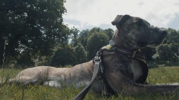 Carino cane sdraiato  rilassante in erba verde nel parco / prato