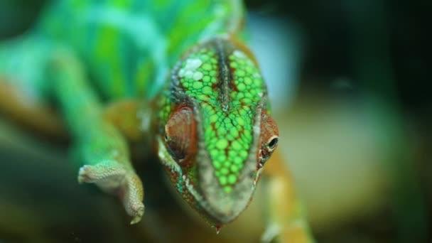 Chameleon ještěrka blízko se makro