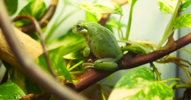 grüner Laubfrosch sitzt auf Asthintergrund