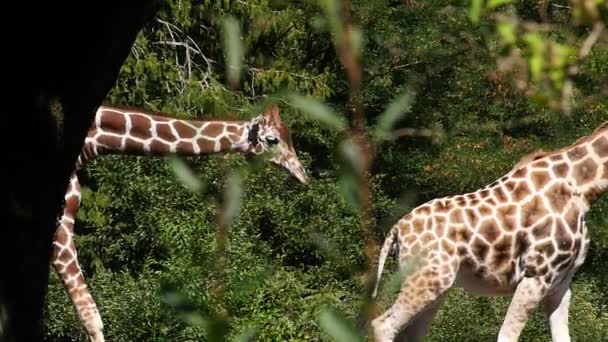 Giraffes Walking in Slow Motion
