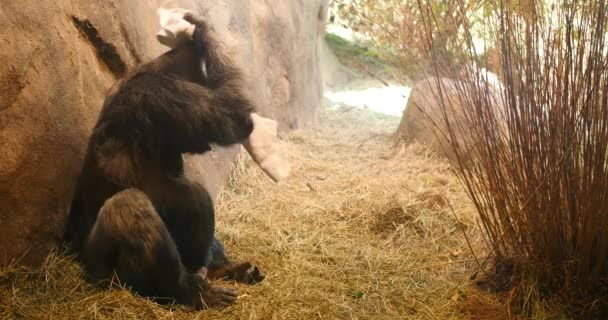Gorilla mit Handtuch auf Schultern im Zoo