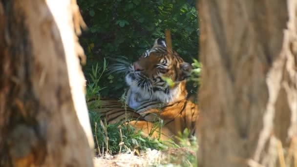 Tigre di Bengala nella menzogne sole in cattività