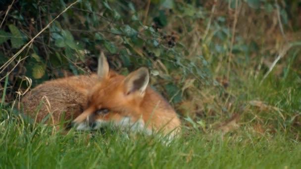 Sleeping Urban Fox Wakes  Looks Up, Slow Motion