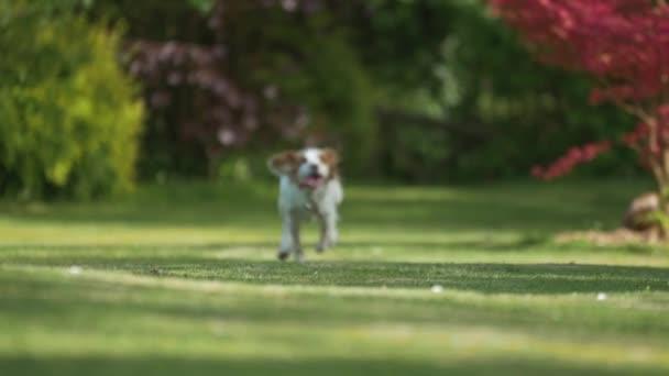 Roztomilý mladý kokršpaněl kokršpaněl pes běhal zpomaleně