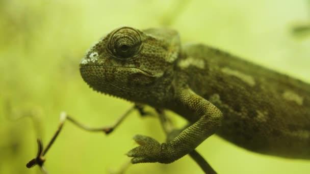 Chameleon ještěrka portrét, zblízka plazů