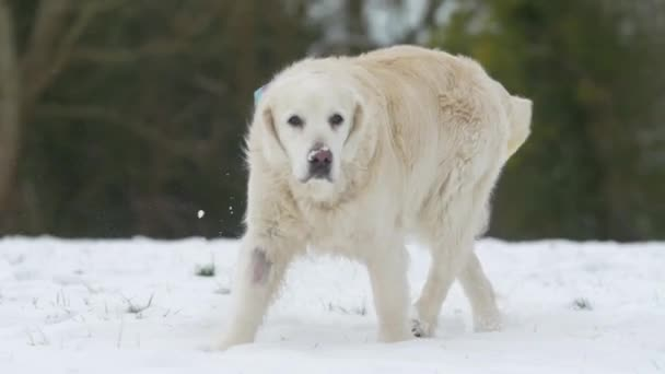 Dog Running in Snow, Slow Motion
