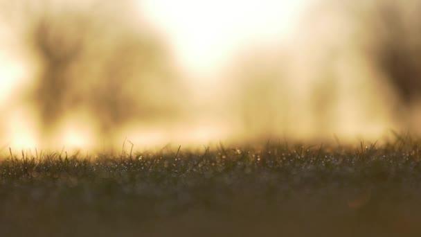 Kapky rosy / déšť, jiskřící v trávě během Sunrise, detailní makro jezdec výstřel