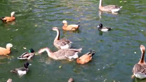 Feeding ducks and geese with bread in the lake on a sunny day in the central zoo