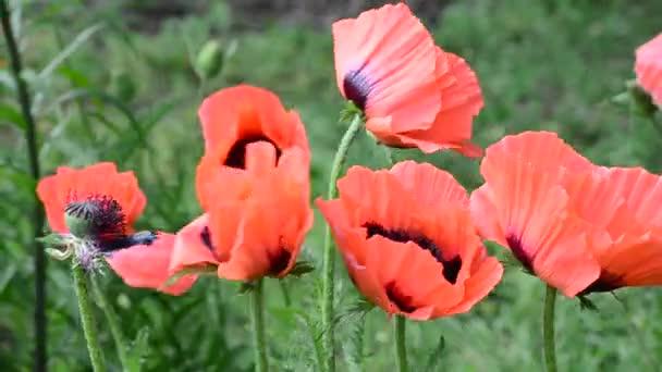 Červený mák-symbol vítězství a jara, kymácel se ve větrném videu