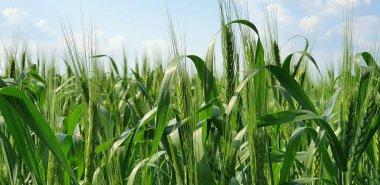 """Картина, постер, плакат, фотообои """"зеленые колосья пшеницы закрываются на голубом фоне неба печать фото"""", артикул 272369504"""