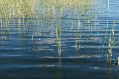 Blue expanse of lake with water reed growing out of the water.