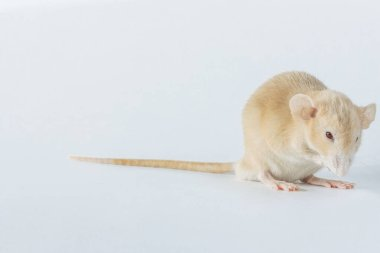 white laboratory rat mouse with red eyes isolated on white background, copy space