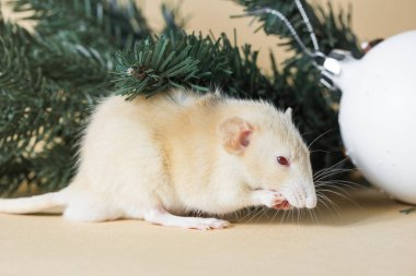 rat, pine, animal, christmas, mice, decoration, holiday, mouse, rodent, small, white, celebration, cute, winter, year, background, creature, decorated, decorative, life, fluffy, nose, wild, pets, congratulations, paws, looking, fuzzy, mood, surprise,