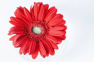 Close up abstract of one red daisy gerbera on a white background