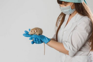Veterinarian doctor in blue gloves is making a check up of a small little rat in the clinic. Rat on the hands of a veterinarian. Veterinary Concept. Testing drugs in mice in a lab.