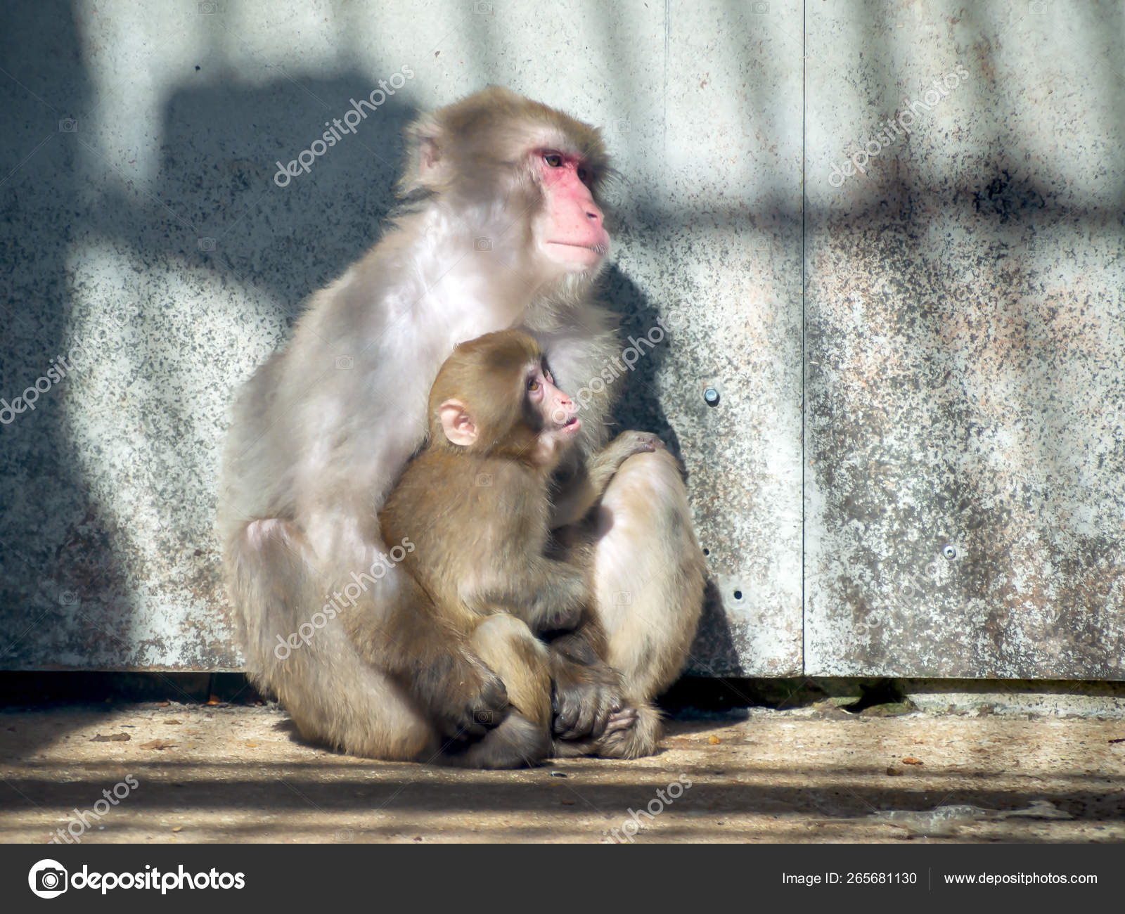 japanese macaque in zoo — Stock Photo © Dimand27 #265681130