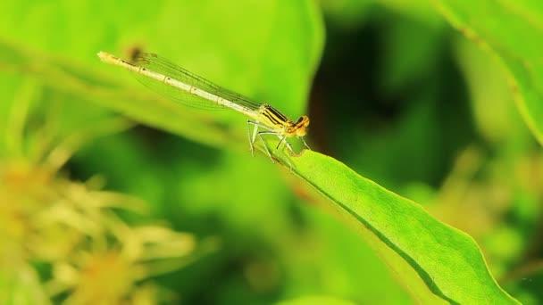 szitakötő rovar, mantis vad