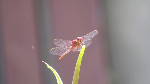 szitakötő természet rovar kert