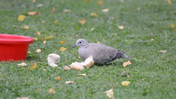 piuma di uccello di tortora dal collare piumaggio