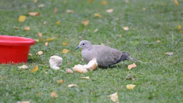 galamb örvös tollazatú madár toll