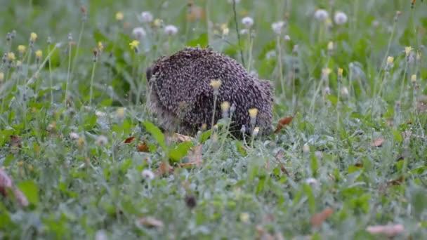 hedgehog garden animal foraging