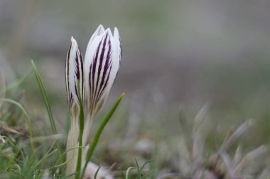 Crocuses are blooming. They are found growing in a range of conditions, from woodlands to coastal gardens to suburban lawns.