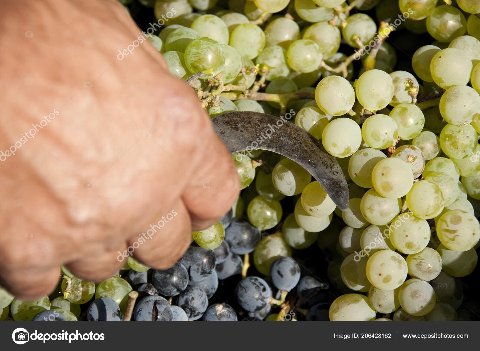 harvesting black grapes bunches grapes white grapes tool harvesting