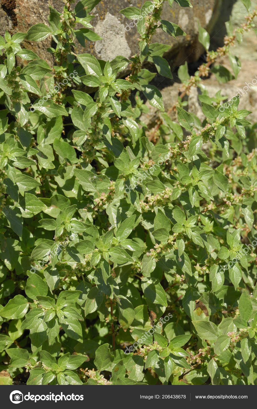 Parietaria Judaica Alergenos Plantas Foto De Stock C Jalonsohu