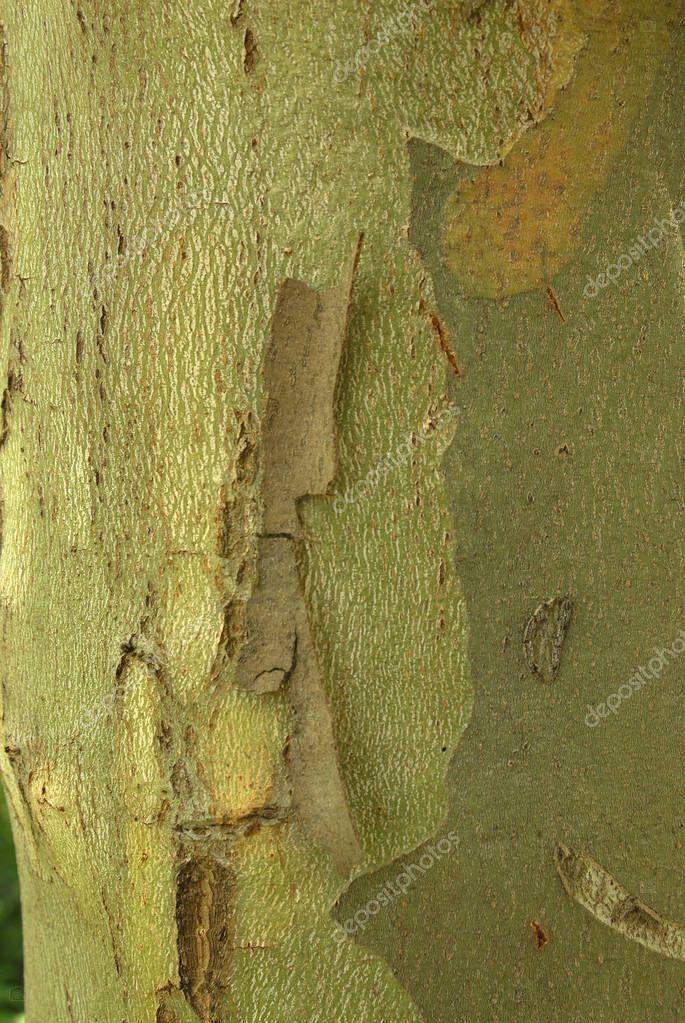 Platanus acerifolia, Allergens Plants