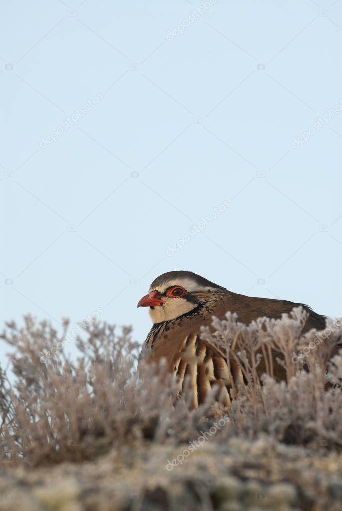 The red-legged, Alectoris rufa, resting
