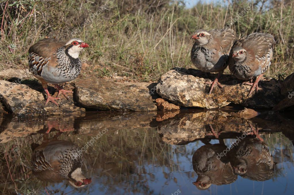 The red-legged, Alectoris rufa, family drinking water