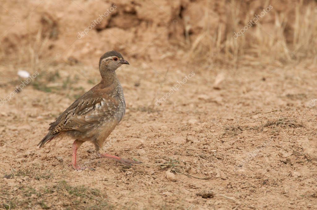 The red-legged, Alectoris rufa, Chicken