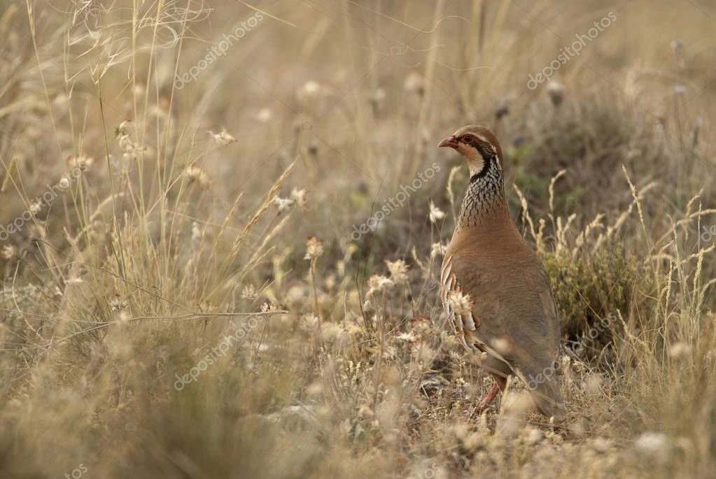 The red-legged, Alectoris rufa, among the grass
