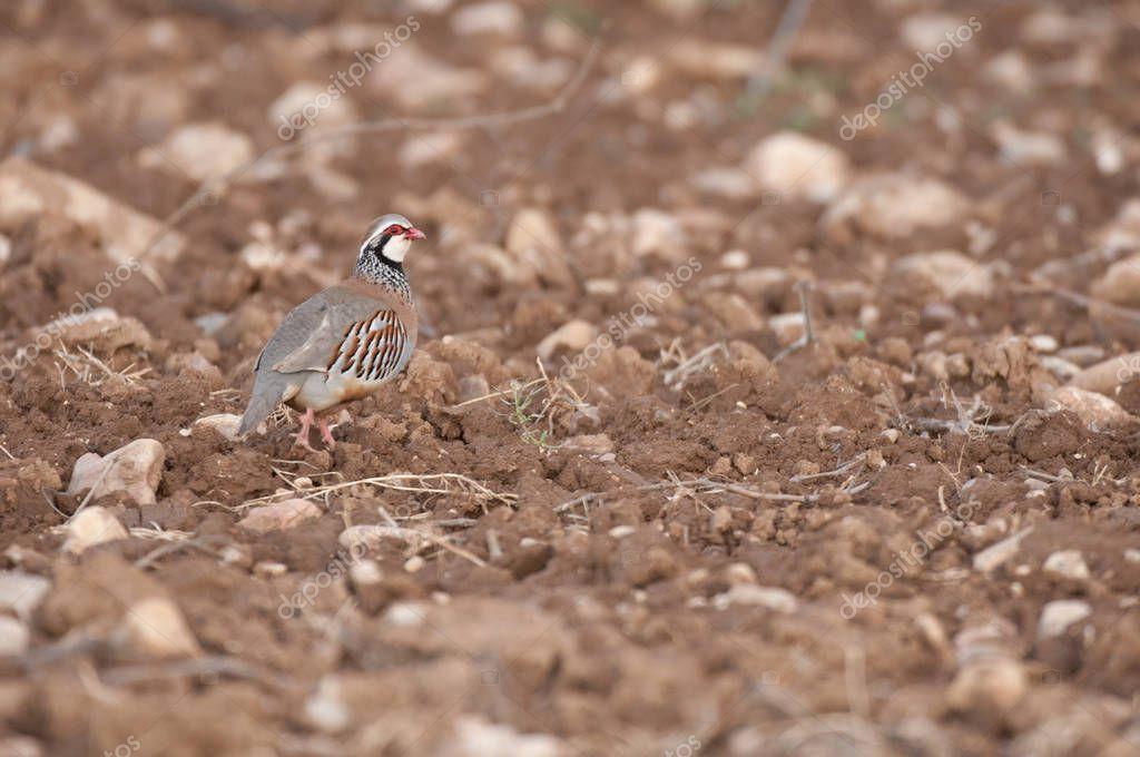 The red-legged, Alectoris rufa, walking through the countryside