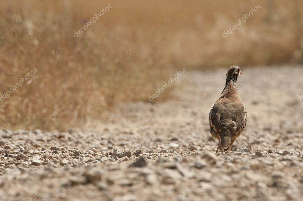 The red-legged, Alectoris rufa, among the grass