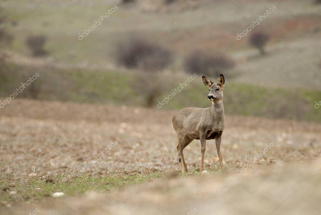 Roe deer, Capreolus capreolus