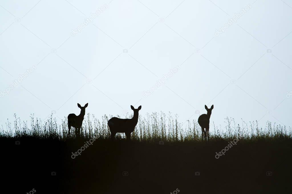 Roe Deer, Capreolus capreolus, Silhouette