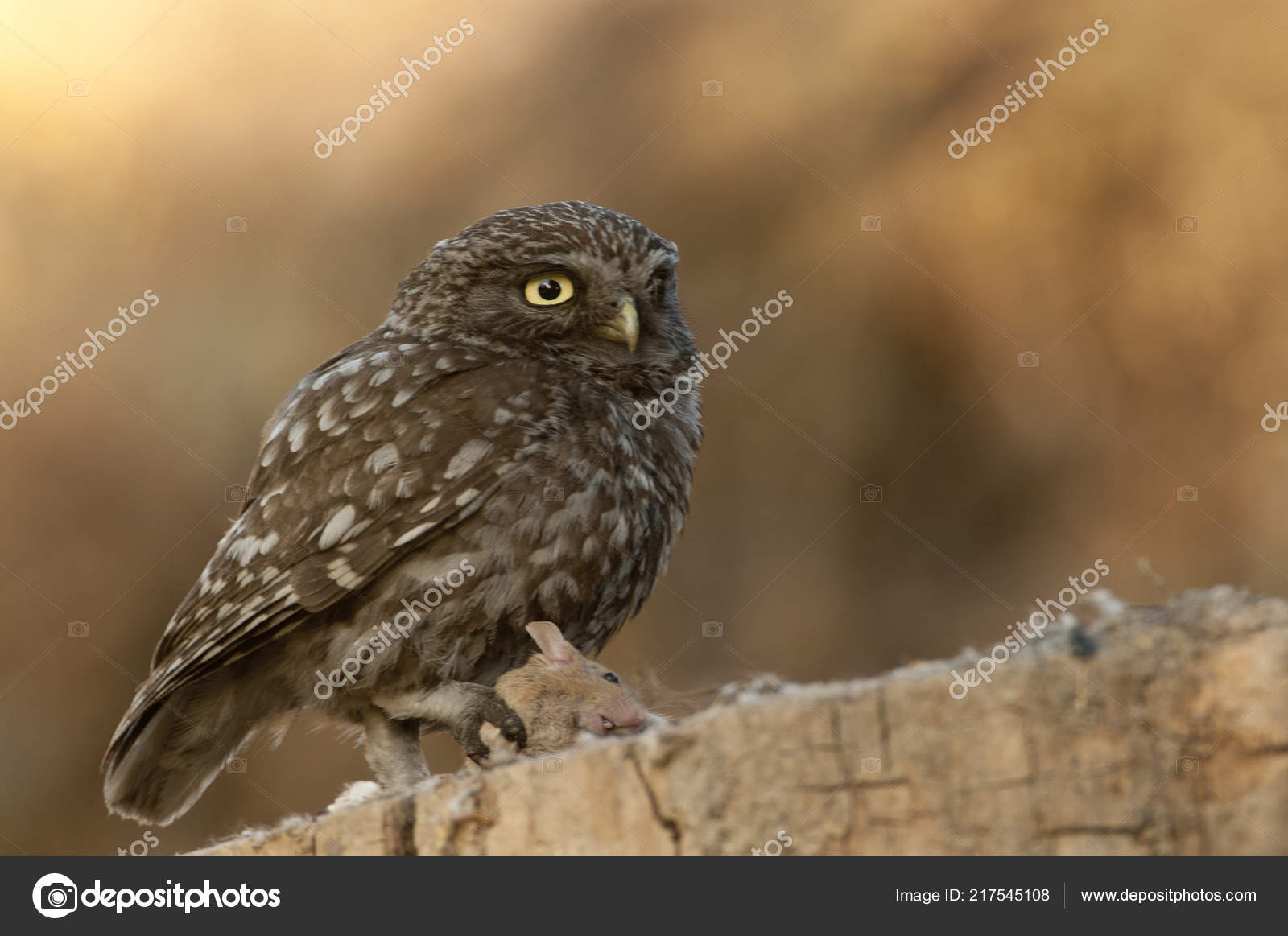 Image of: Prey Little Owl Nocturnal Birds Prey Athene Noctua Perched Branch Mouse Stock Photo Depositphotos Little Owl Nocturnal Birds Prey Athene Noctua Perched Branch Mouse