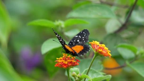 Oranžový a černý tečkovaný tropický motýl mává křídly zpomaleně. Tropický motýl pomalu mává svými velkolepými křídly v Karibském moři. Nadšené tropické živočišné druhy. Úžasný unikátní hmyz z celého světa.