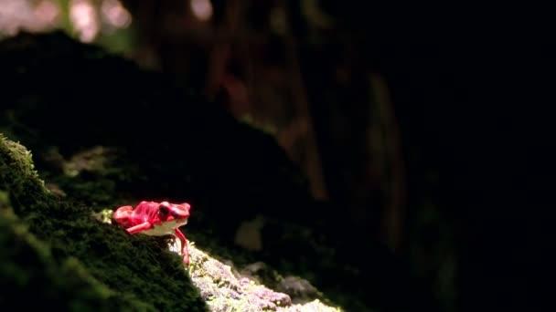 Rana del dardo del veleno della fragola rossa nella foresta caraibica. Questi anfibi sono conosciuti come rane del dardo del perché la gente indigene usa il veleno rane per colpo freccette e veleno della freccia. Tutti i selvatici dendrobatidi secernono tossine attraverso la pelle