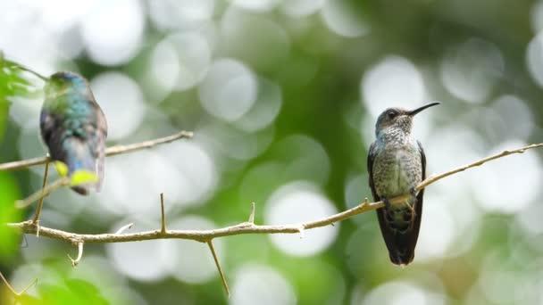 Bělokrký Jakobín pták v jeho přirozeném prostředí v lese. Známý jako velký Jakobín nebo s límečkem kolibřík, je velký kolibřík od Karibského moře. Bujné tropické druhy zvířat. Úžasné barevné jedinečných ptáků z celého světa