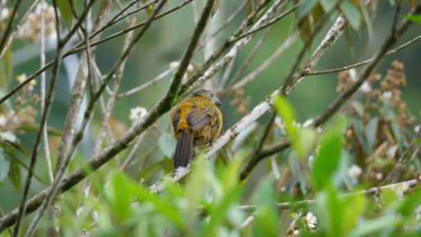 Je passerini tanager ženské pták v deštném pralese. Je passerini tanager, samice passerinii, je střední zpěvný pták. Tento tanager je bydliště chovatele v karibské nížiny. Bujné tropické druhy zvířat. Super barevný pták