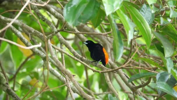 Passerinis Tanager-Männchen im Regenwald. Der Tanager von passerini, ramphocelus passerinii, ist ein mittelgroßer Passantenvogel. Dieser Tanager ist ein in der karibischen Tiefebene ansässiger Züchter. Überschwängliche tropische Tierarten. Tolle bunte Vögel.