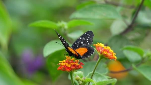 Oranžové a černé dottet motýlí vlály její Zpomalený pohyb křídla. Tropický motýl velkolepý křídly v pomalém pohybu v Karibském moři. Bujné tropické druhy zvířat. Úžasné barevné jedinečný hmyz.